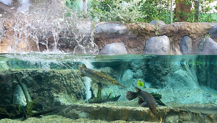 аквариум речного сафраи